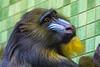 AFFE // APE (DrTeNFeet) Tags: berlin zoo canon 28 affe ape tier animal germany d60 auge eye bart beart grün gelb blau green yellow blue