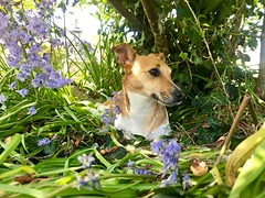Resting among bluebells (KelJB) Tags: garden bluebells shade rest jackrussell terrier beautiful pretty small animal canine cute dog