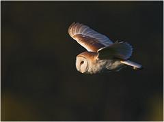 Barn Owl (Antony Ward) Tags: