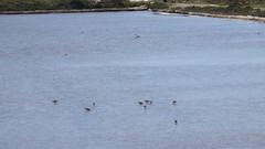 Alpen- oder Sichelstrandläufer und Säbelschnäbler in einem Salzgewinnungsbecken bei Fuseta (fotoculus) Tags: portugal algarve fuseta riaformosa urlaubsreiseapril2018 vögel aves birds loiseaux alpenstrandläufer sichelstrandläufer säbelschnäbler