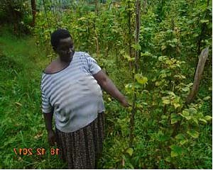Uganda Kabale 2018 - Specioza's climbing beans, conventional ag