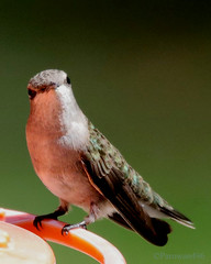 "The extremely rare and very seldom seen ""Beak-less Hummingbird"" (Parowan496) Tags: hummingbird spring feeder beakless"