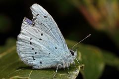 Slightly battered holly blue butterfly (Lord V) Tags: macro bug insect butterfly hollyblue