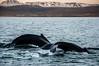 Freedom (carloschafer) Tags: ballena iceland whales islandia mar