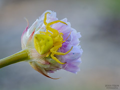 Araña cangrejo (Jesus Tejon) Tags: araña flor macro olympus naturaleza insectos cangrejo