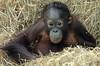 orangutan Sabbar Ouwehand BB2A5900 (j.a.kok) Tags: orang orangutan orangoetan animal aap ouwehands ape mammal monkey mensaap zoogdier dier primaat primate asia azie sabbar