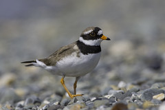 Ringed Plover (jonny.andrews65) Tags: ringed plover ballyquintin portaferry newtownards countydown northernireland nationaltrust nikon d7200 200500 vr