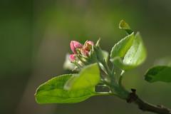 Õunapuu (Jaan Keinaste) Tags: pentax k3 pentaxk3 eesti estonia loodus nature õunapuu õis blossom õunapuuõis jupiter37a kevad spring