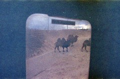 (martine.es) Tags: camel travel train view vintage 35mm expired 35analog xpro crossprocess crossprocessed emmen zoo duo analogue analog analoog camels outdoor window diafilm slidefilm slide grain grainy grainisgood filmphotography film filmphoto filmneverdies filmcamera minolta