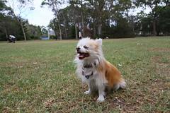 20180425-IMG_3209 (PM Clark) Tags: chihuahua pure bred long coat jezebel sydney australia 7d canon