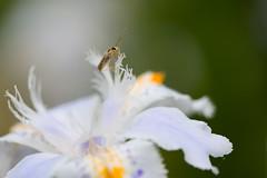 Wait until Sasha with insect(シャガと虫) (daigo harada(原田 大吾)) Tags: kamakura view landscape wait until sasha insect