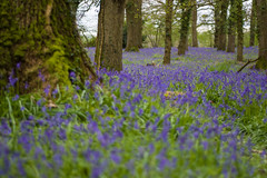 Bluebell forest (samrizzophoto) Tags: photography bright flowers nikon d7200 pics sam rizzo focus 35mm green sand beach lens nikkor photo pic photos photographs bournemouth poole dorset news diary