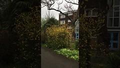 Bachelor's buttons (Kerria japonica) - shrub - April 2018 (Exeter Trees UK) Tags: bachelors buttons kerria japonica shrub april 2018