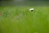 Lonely? (Peter Goll thx for +7.000.000 views) Tags: erlangen germany daisy gänseblümchen gras lawn flower macro bokeh d850 nikon nikkor