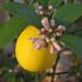 for Sandra - lemon trees in Springtime
