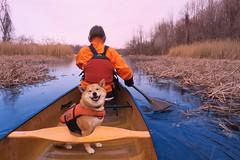 Happy to paddle on in April... (deanspic) Tags: paddle paddling canoe canoeing misha paddleon april marsh hoppleisland stlawrenceriver rain by filter g3x shiba shibainu dog