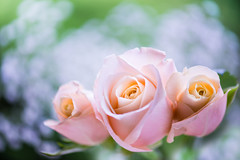 rose 4955 (junjiaoyama) Tags: japan flower rose pink bokeh spring macro macromademoiselle