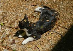 O is for On the Patio (BKHagar *Kim*) Tags: bkhagar cat kitty kitten gato gatto tinker tink challenge letter o on tuxedo leaves messy julesphotochallengegroup outside patio