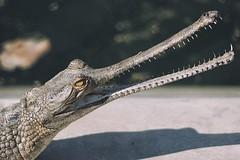 0744 Brush My Teeth III (Hrvoje Simich - gaZZda) Tags: animals reptile gavialisgangeticus nature wild outdoors teeth head eye mouth nationalpark chitwan nepal asia nikon nikond750 sigma150500563 gazzda hrvojesimich
