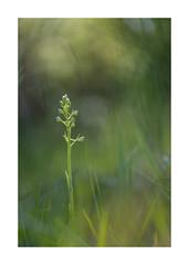 Platanthere Orchidées-1042125A1042 (helenea-78) Tags: fleur fleurs fleurssauvages macro orchidéesauvage orchidées nature