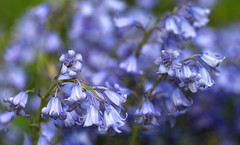 Ringing - Singing - Swinging (AnyMotion) Tags: mondayblues spanishbluebell spanischeshasenglöckchen hyacinthoideshispanica bokeh spring frühling primavera printemps 2018 blossom blüte plants pflanzen anymotion nature natur blumen floral flowers frankfurt colours colors farben blue blau 6d canoneos6d ngc npc