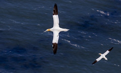 Soaring (roderick smith) Tags: morusbassanus northerngannet rspbbemptoncliffs eastyorkshire seabird canon eos6dmkii ef100400mmislmkii ef14xextendermkiii