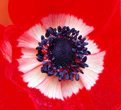 Kaleidoscope (Colin Massey) Tags: red poppy seeds kaleidoscope flower summer spring garden nature