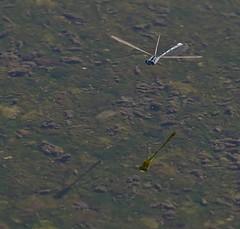 Tri-Wing (Not Really) (harefoot1066) Tags: zygoptera damselfly odonata bluet familiarbluet enallagma enallagmacivile