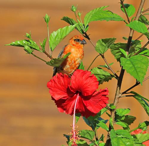 Red Fodi & flower