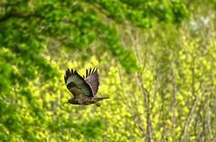 Buzzard in the wood (Margaret S.S) Tags: buzzard buto birdofprey raptor inflight