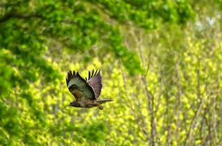 Buzzard in the wood