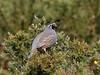 California Quail (Callipepla californica) (sp. # 236) (SharifUddin59) Tags: callipeplacalifornica californiaquail quail hakalauforestnwr hakalaunwr hilo hawaiiisland hawaii bigisland gamebird bird