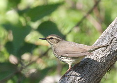 Northern Waterthrush at Sandy Hook (Tombo Pixels) Tags: sandyhook181074 northernwaterthrush bird audubonwalk sandyhook newjersey nj twb1