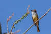 Ash-throated Flycatcher perched on Ocotillo.   Explored 5-13-18 (gilamonster8) Tags: bokeh landscape golden flowersplants flickr canon ocotillo ngc tucson cactus 5dmarkiv blue yellow bloom ashthroatedflycatcher leaves perch bird naturetop sky arizona eos ef400mmf56lusm perched animal