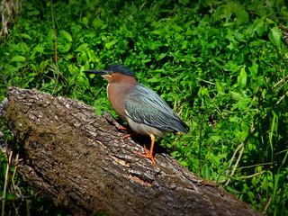 Green Heron IMGP4843