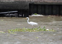Eastern great egret (KENO Photography) Tags: birdanimal animalsinthewild colour egret grass greategret horizontal nopeople oneanimal outdoors perching photography white wildlife weedraft river floating chao phraya