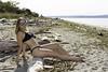 Beach Portrait (Shawn Herring) Tags: female girl model bikini beach sunglasses shawn herring nikon d7100 seattle north discovery park lighthouse sand ocean puget sound abs seaweed
