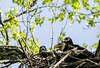 Mom and Brood (114berg) Tags: 15may18 decorah bald eagles raptor resource program iowa