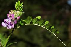 Vicia sepium Linnaeus, 1753 = Vicia dumetorum Linnaeus, 1754 non Linnaeus, 1753, la vesce des haies. (chug14) Tags: unlimitedphotos plantae plante fleur flower fabaceae vescedeshaies viciasepium