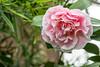 20180203_044 (Thorndike.ar) Tags: camelliajaponica cologne deutschland europa europe flora germany kamelie kamelienausstellung köln nordrheinwestfalen northrhinewestphalia strauch tomorrowsdawn
