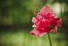 Like A Flamingo (preze) Tags: tulpe tulip blume flower pflanze plant blüten blossom flora blütenblätter petals green grün pink rosa bokeh spring frühling