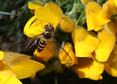 syrphidae (BSCG (Badenoch and Strathspey Conservation Group)) Tags: acm insect diptera fly hoverfly dip ulex flower yellow may sunshine