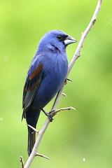 Blue Grosbeak at Bombay Hook NWR....6O3A2135A (dklaughman) Tags: grosbeak bird bombayhooknwr delaware