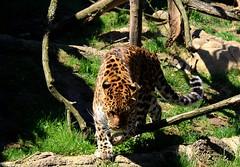 stalking (HalcyonPhotos) Tags: jaguar zoo erie pennsylvania stalk fauna encounter