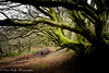 Lewesdon Hill (broadswordcallingdannyboy) Tags: dorset woods nature broadwindsor mood atmosphere eos7d 1740mm canon leonreillyphotography copyright family trees lewesdon hill nationaltrust play holiday spring frame naturalframing pathway wood forest creepytrees
