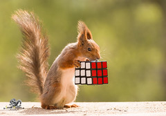 Red squirrel is holding a cube toy (Geert Weggen) Tags: puzzlecube concepts solution order puzzle cubeshape leisuregames complexity theend organization strategy connection finishing shelf nopeople closing achievement house wallbuildingfeature contemplation cooperation ideas toyblock assistance confusion togetherness challenge choice communication concentration conceptstopics geometricshape horizontal incentive photography problems squirrel redsquirrel rodent nature animal white play game bispgården jämtland sweden geert weggen sverige ragunda