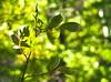 Green Leaves in Shadows (Orbmiser) Tags: olympus40150mmf4056r 43rds em1 mirrorless omd olympus ore oregon portland leaf leaves green