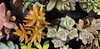 Succulent Splendor (Let Ideas Compete) Tags: succulent assortedsucculents ornamentalplant varied variety assortment plant leaves plants pattern fromabove leafpatterns