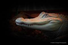 Albino Mississippi Alligator (Stefan Schlegel Photography) Tags: terrazoo rheinberg reptiles amphibians reptilien amphibien sony