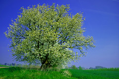 Belgium, Borgloon/Grootloon. (ClaDae) Tags: belgium belgique borgloon landscape scape tree flowers green blue bloesems blossoms fruit scenery fine
